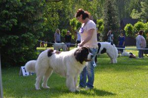 Harry Czubaryk, landseer, landseer z krknonos, chovný pes