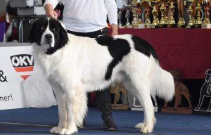 Harry Czubaryk, landseer z Krkonoš, chovatelská stanice landseer, landseerclub, Daisy Mae Týnská hora, chovný pes, krycí pes