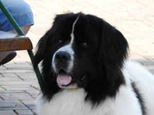 Landseer, chovný pes, chovatelská stanice landseer z Krkonoš, Luigi vom Keltenhügel, Daisy chovná fena