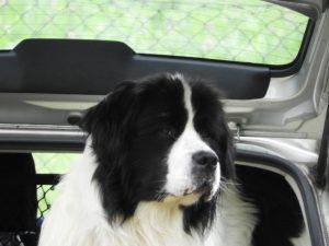 landseer, landseer z Krkonoš, chovatelská stanice landseer, chovný pes, Daisy Mae Týnská hora, Luigi vom Keltenhügel