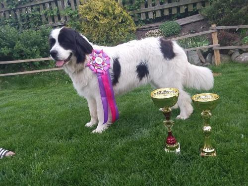 Daisy, vítěz klubové výstavy, landseer