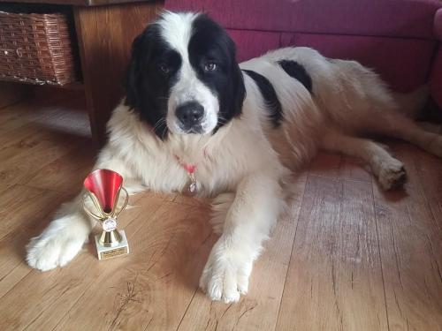 Daisy, národní vítěz,BOB, landseer